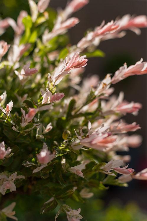 SALCIE - Salix Hakuro Nishiki