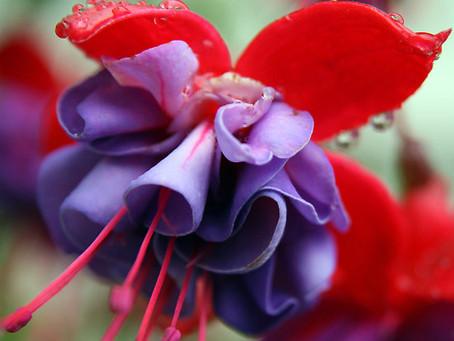 Fuchsia, frumusete si veselie deopotriva...