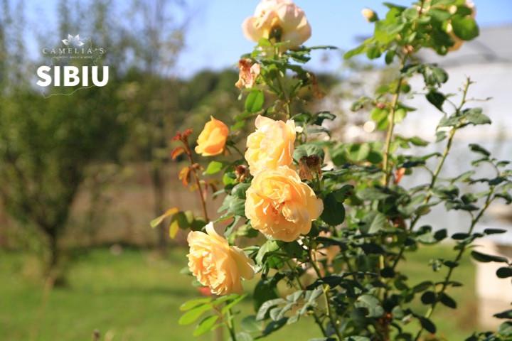 ingrijirea-trandafirilor-gradina