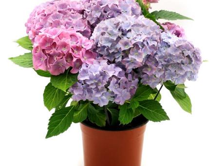 Flori Hortensia – Ingrijire, Inmultire, Plantare