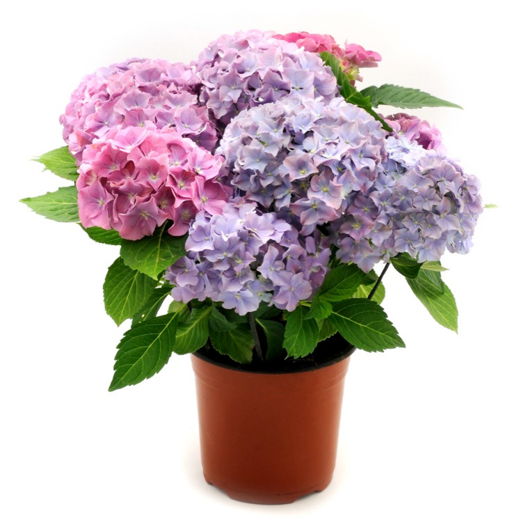 hortensia-ingrijire