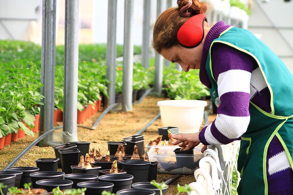 plantare-bulbi-flori-ghiveci