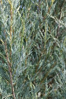 IENUPAR - Juniperus Moonglow