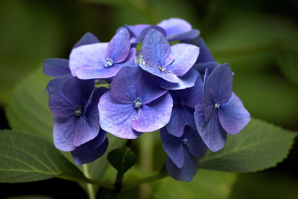 hortensia-culori