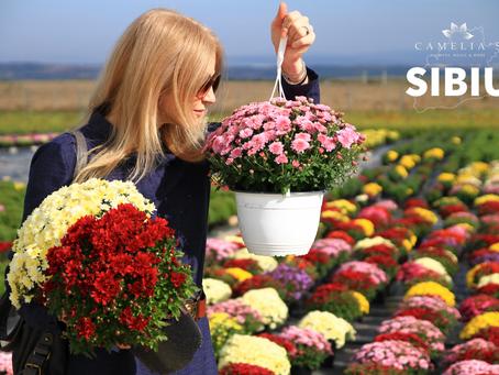 Cele mai frumoase flori de Crizanteme