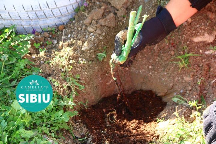 plantarea-trandafirilor-ingropare
