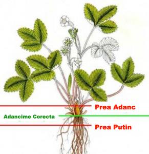 cultivarea-capsunilor-ghivece-plantare