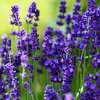 Lavanda Elegance Purple (ZLA001)