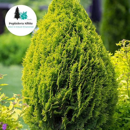 TUIA Smaragd Auriu 30-40cm (2L)