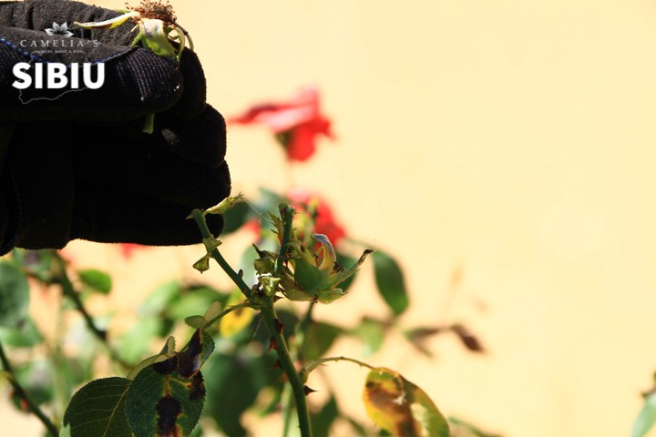 ingrijirea-trandafirilor-curatare