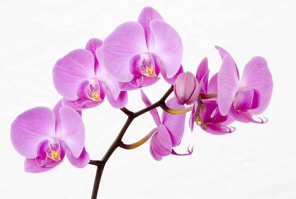 Orhidee-Dendrobium