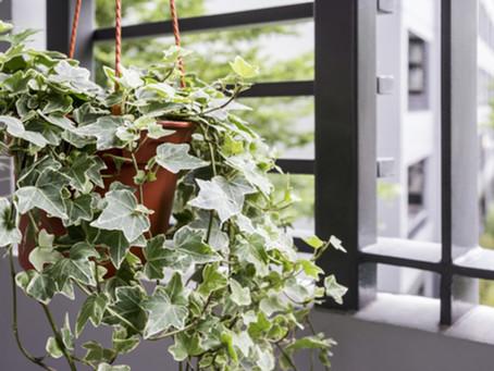 Despre Iedera – plantare, inmultire, ingrijire, pret. Iedera planta medicinala