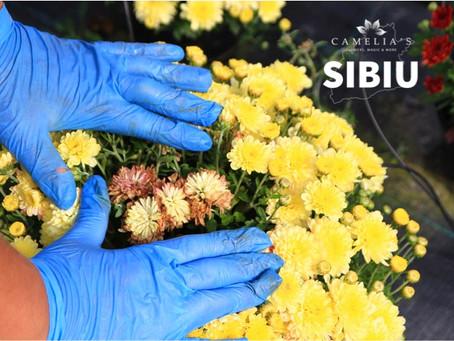 Ingrijirea crizantemelor inflorite