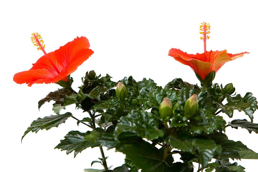 trandafir-japonez-orange