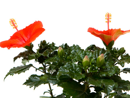 Trandafir Japonez - Ingrijire, Inmultire, Taiere