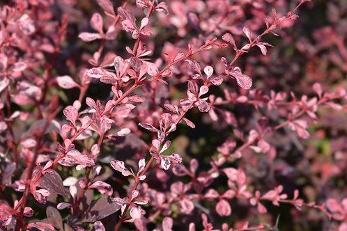 DRACILA Roz (BERBERIS Thunbergii Pink)