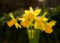 narcise-flori-primavara.jpg
