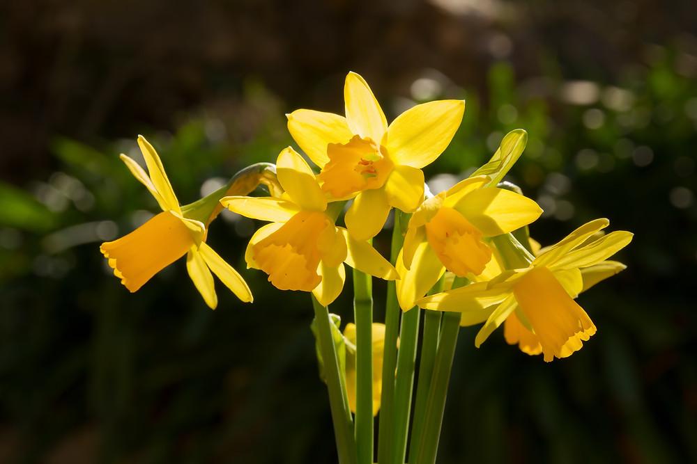 narcise-flori-primavara