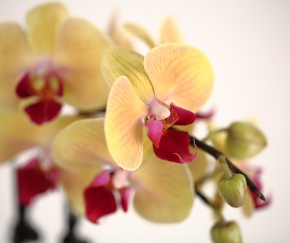 Orhidee-Phalaenopsis