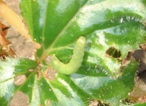 begonia-ingrijire-vierme-verde