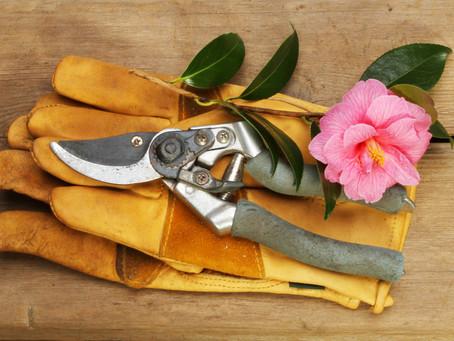 Floare Camelia - Ingrijire, Intretinere (Camellia Japonica) Inmultire, Plantare