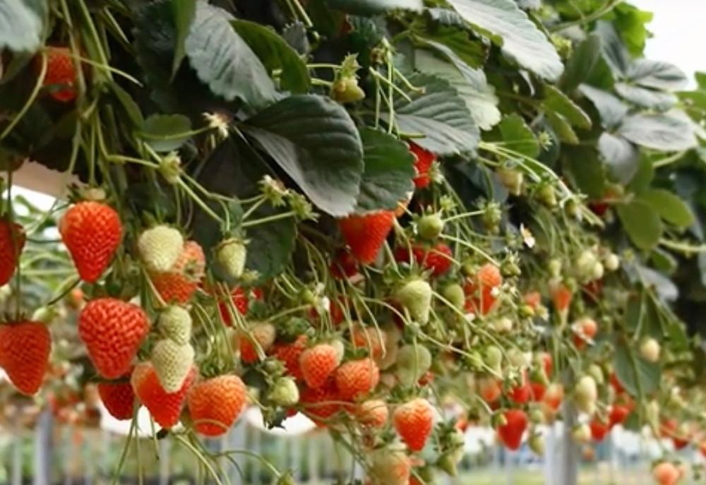 cultivarea-capsunilor-ghivece