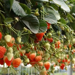 Cultivarea capsunilor in ghivece - Productie dubla garantata