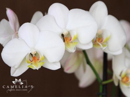 Orhidee Phalaenopsis – Ghid complet de ingrijire!