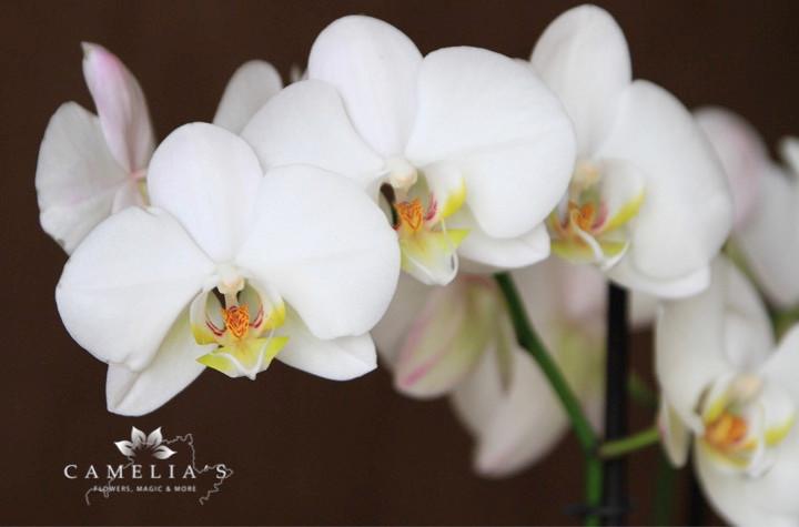 orhidee-phalaenopsis-semiumbra