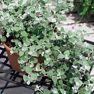 Helychrysum Silver