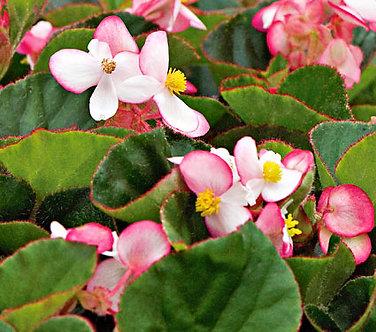 Begonia Semperflorens Bicolor (ZBE004)