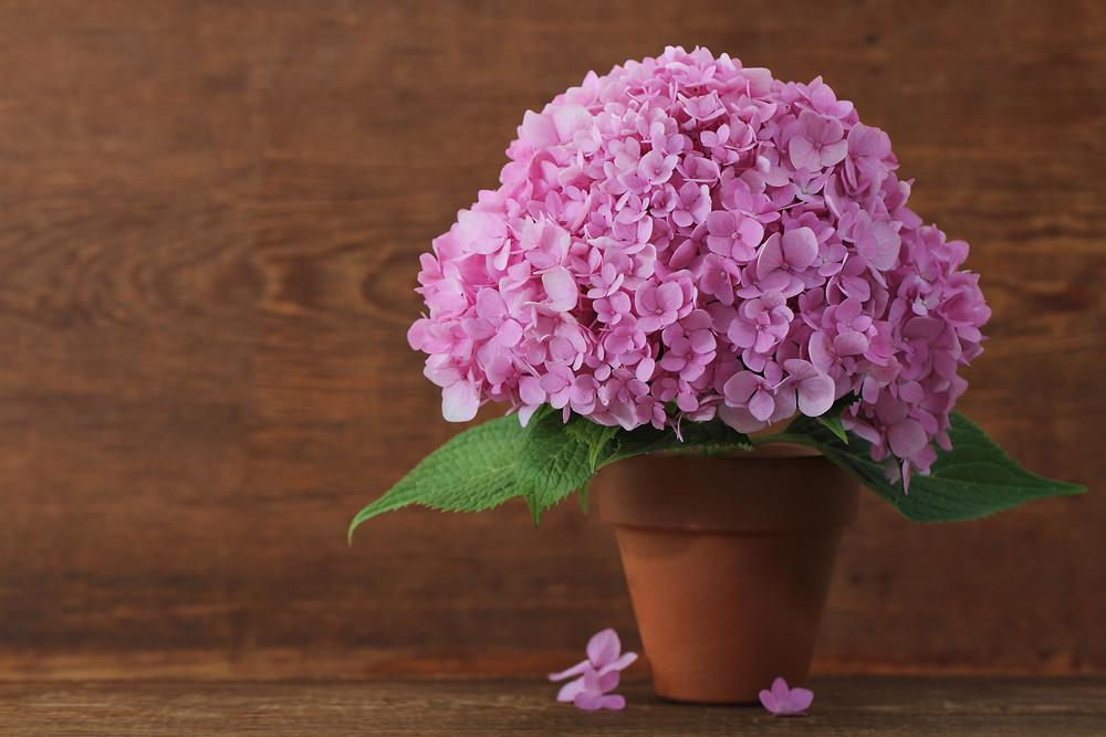 hortensia-ghiveci