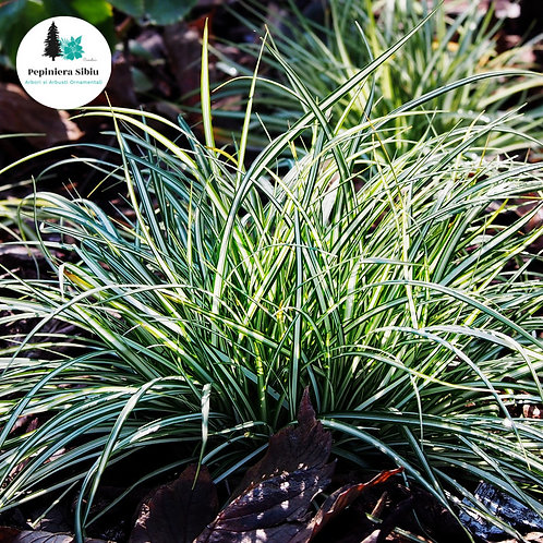 IARBA Carex Morrowii - 30-40cm (5L)