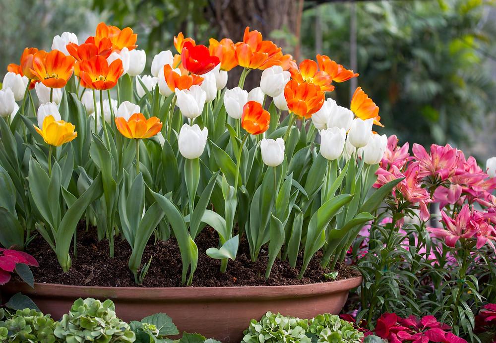 lalele-flori-primavara