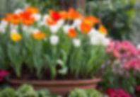 lalele-flori-primavara.jpg