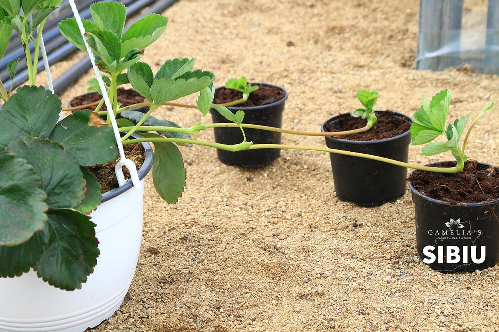 cultivarea-capsunilor-ghivece-inmultire
