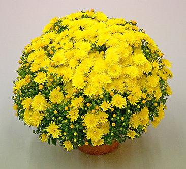 Crizantema - Galbena Branfountain