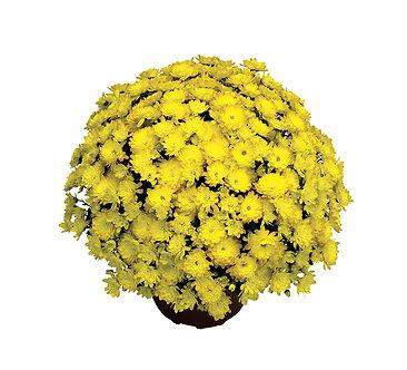 Crizantema - Galbena Branmaya