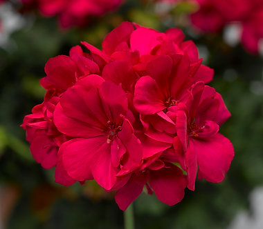 Muscata Calliope Hot Rose (SMU006)