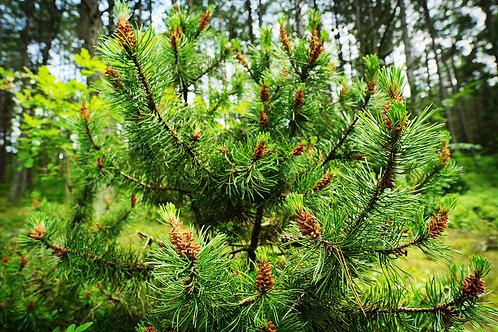 PIN NEGRU - Pinus Nigra Nana