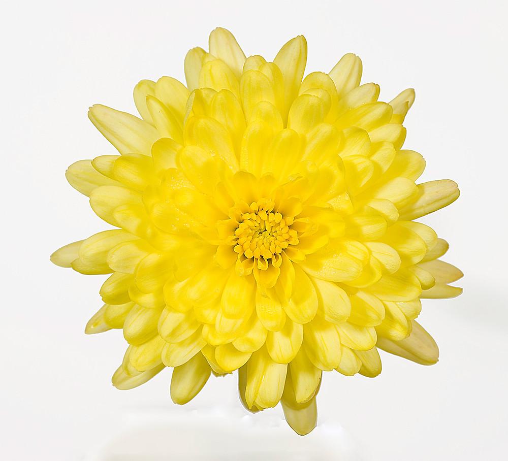 crizanteme-galben
