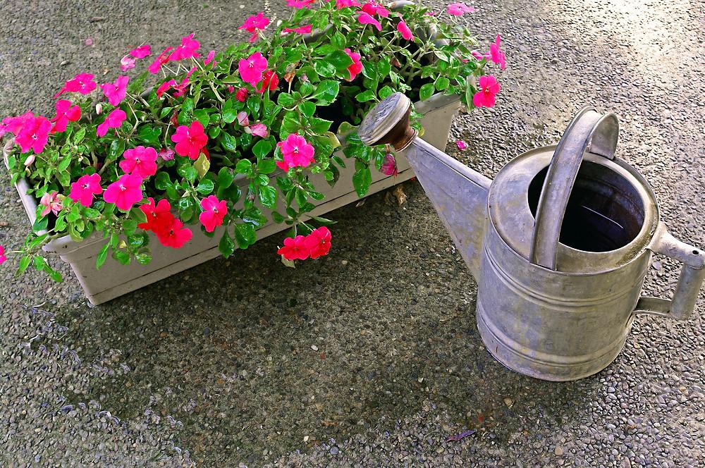 Sporul-Casei-Impatiens-jardiniera