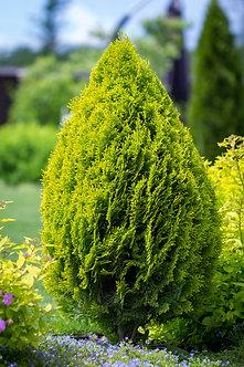 """TUIA GOLD - Thuja occidentalis """"Sunny Smaragd"""""""