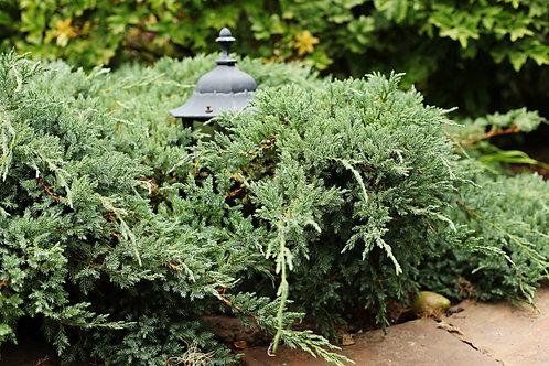 IENUPAR TARATOR - Juniperus Blue Carpet
