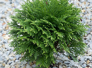 tuia_thuja_occidentalis_danica.jpg