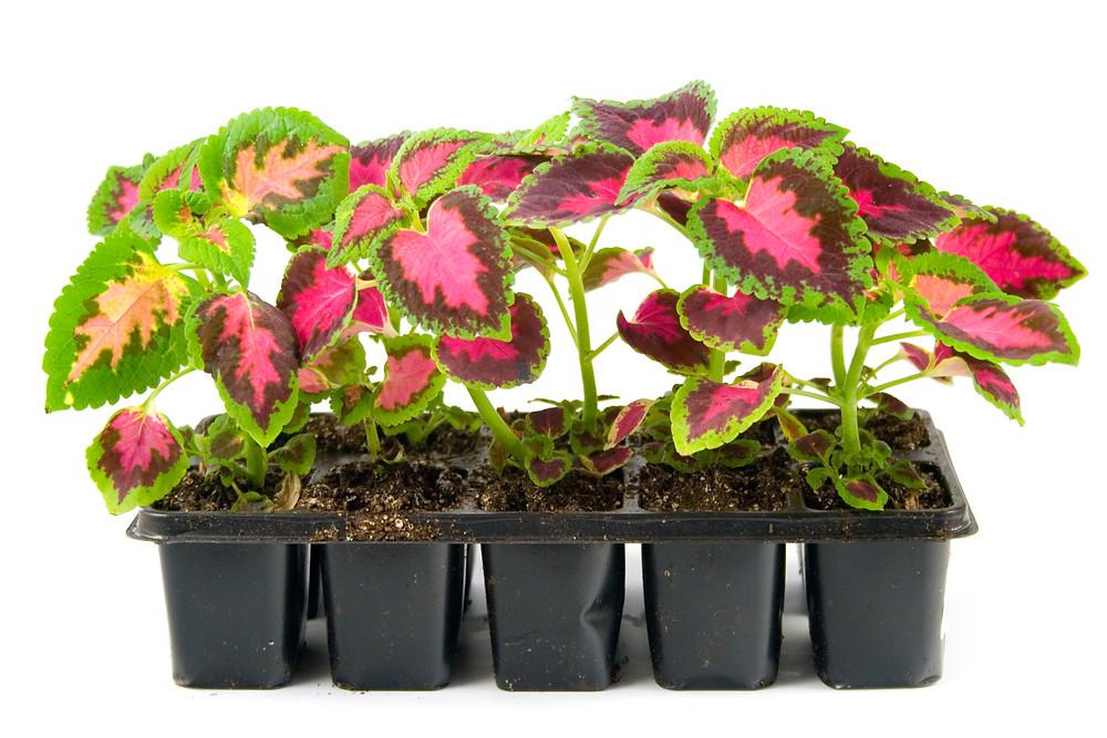 plante-coleus-urzicuta-ingrijire