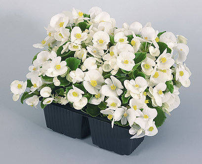 Begonia Semperflorens Alb (ZBE001)