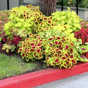 Coleus, plante decorative ( Urzicuta, floare ornamentala ). Ingrijire, Plantare, Inmultire.