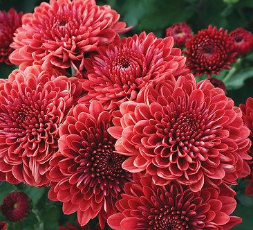 Crizantema - Rosu Branroyal