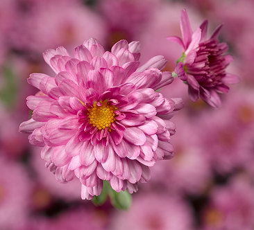 Crizantema - Roz Chelsey